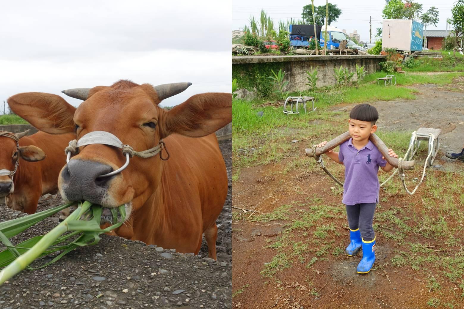 宜蘭壯圍【牛頭司】耕牛小學堂|宜蘭親子玩體驗|農耕體驗半日遊